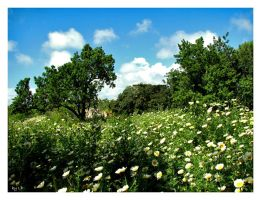 Field of Daisies by LPCD