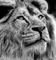 Lion by raulrk
