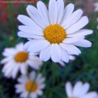 Daisy Version 1 by FrancescaDelfino