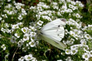 white butterfly by shahar12