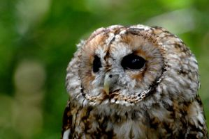 Tawny Owl by Shadow-and-Flame-86