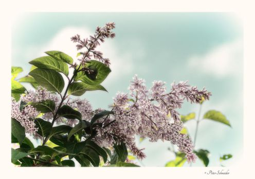 blossoms 3 by Phototubby