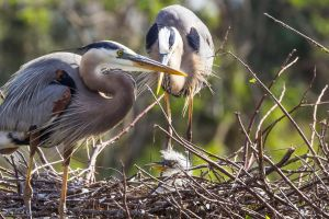 Great blue heron chick by CyclicalCore