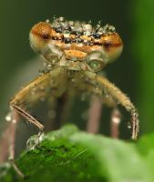 damselfly 3 by decmeister