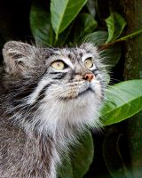 Pallas cat 1 by SnowPoring