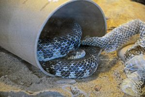 One Happy Hognose by MorrighanGW