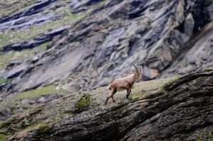 Young ibex by Conan23