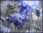 Scabiosa Columbaria by vQb