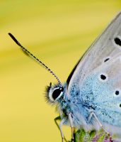 Common Blue:. by efeline