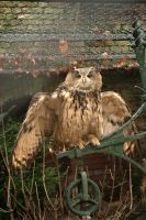 Eurasian Eagle Owl 3 by steppelandstock
