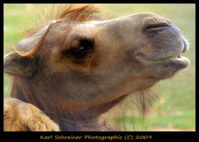 Camel by KSPhotographic