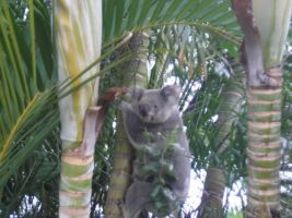 Koala in a palm tree by jueru2003