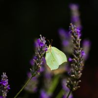 A Leaf for the Lavender by DeviantTeddine