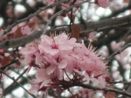 cherry blossom galore by harry-potter-maniac