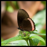 Red Rim Butterfly by Mogrianne