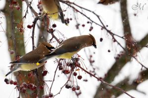 And a Cedar Waxwing in a Hawthorn Tree by MLynnK