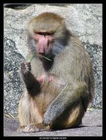 Baboon A by brander