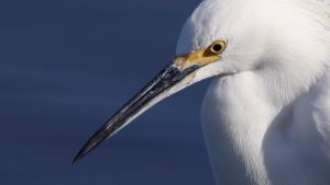 Egret Wallpaper II by ChristopherPayne