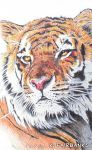 Tiger Yellow Eyes (ball point pen drawing) by eyeqandy
