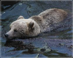 Brown Bear1 by Globaludodesign
