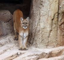 Mountain Lion 5586 by mammothhunter