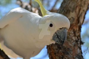 Sulphur-crested Cockatoo by SGreavesPhotography