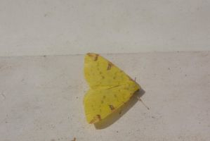 Papillon Jaune 01 by Jules171