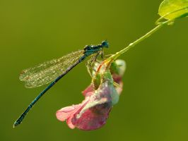 Morning damselfly by dralik