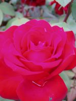 .stock: red rose. by guavon-stock