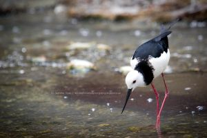 Pied Stilt by StephiPhotography