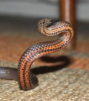 Golden Crowned Snake, Cacophis squamulosus 4 by SnakeOutBrisbane