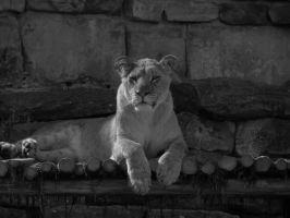Young Lioness 2 by Orcanaria