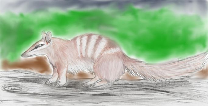 A Numbat by Lieluka