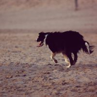 Border Collie by 1Mathew7