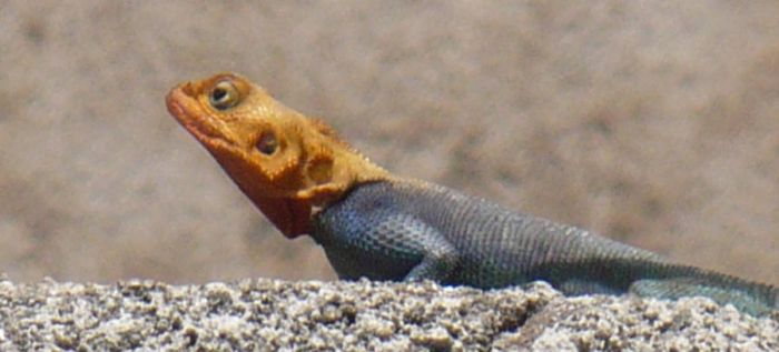 Orange Headed Blue Lizard by Nibsy89
