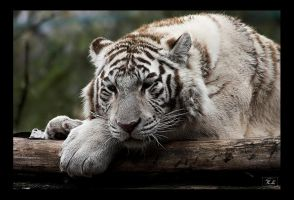 the white tiger I by creativegrafix