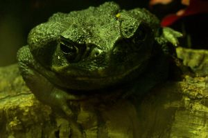 Green toad by Brianetta