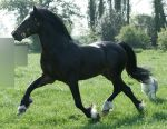 Welsh Stallion 17 by equinestudios