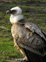 Vulture by Elli090
