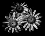 Backyard Flowers In Black And White 12 by thelearningcurve-da
