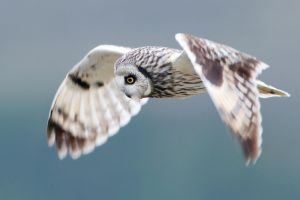 Piercing eyes - Short-eared Owl by Jamie-MacArthur