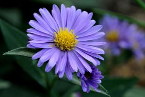 Purple Daisy by Monkeystyle3000