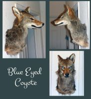 Blue eyes Coyote Shoulder Mount ON HOLD by Tricksters-Taxidermy