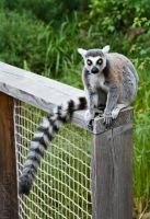 Ring-tailed Lemur (Catta) by Luxxs