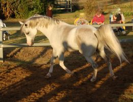 JA Arab Grey trot side head flick by Chunga-Stock