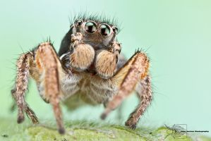 Habronattus orbus by ColinHuttonPhoto