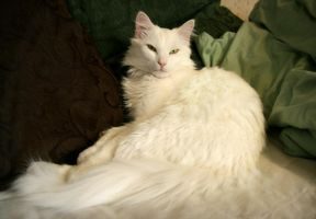 White cat resting by NaviStock