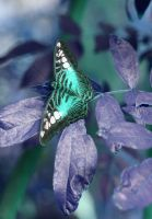 butterfly 9 by Cassidy-Slingby