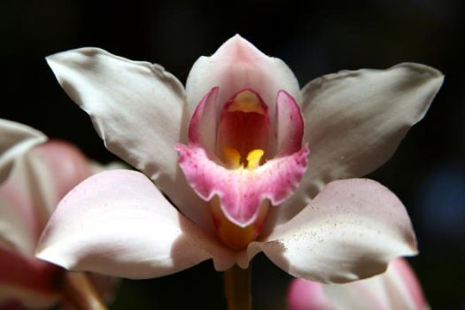 orchid 3 by stockofshutterbugmom