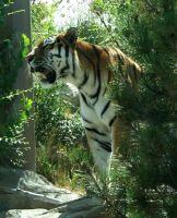 Hogle Zoo 23 - Tiger by Falln-Stock